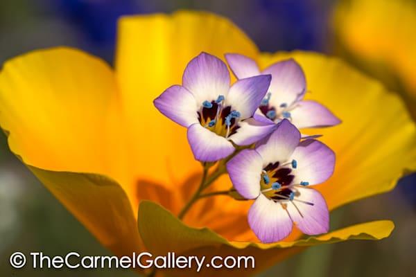 Poppies Iv Art | The Carmel Gallery