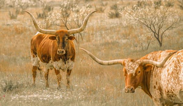 Texas, Longhorn, cattle