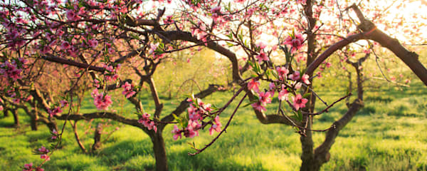 Orchard Blossoms