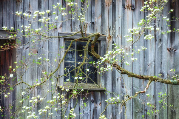 Spring dogwood blooms and an old rustic barn combine to create a lovely countryside fine art print