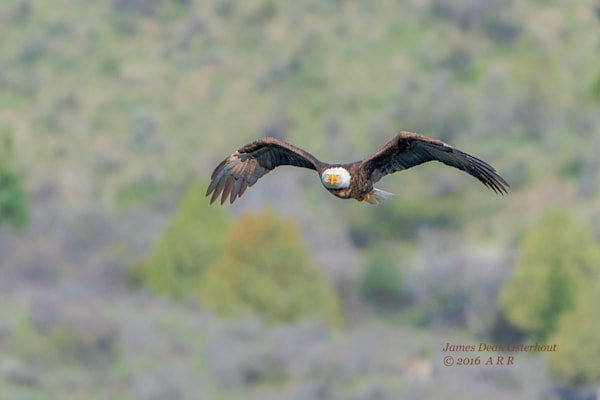 swan valley, idaho, southfork of the snake river, bald eagleswan valley, idaho, southfork of the snake river, bald eagle