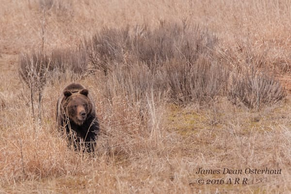 subadult, grizzly 610, grand teton national park, eagletts