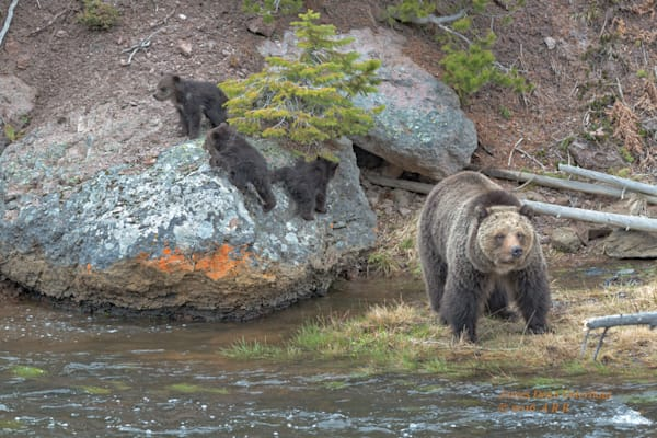 yellowstone national park, grizzly bear cubs, grizzley bears, gibon river, gibon falls, coy of the year, beryl springs sow