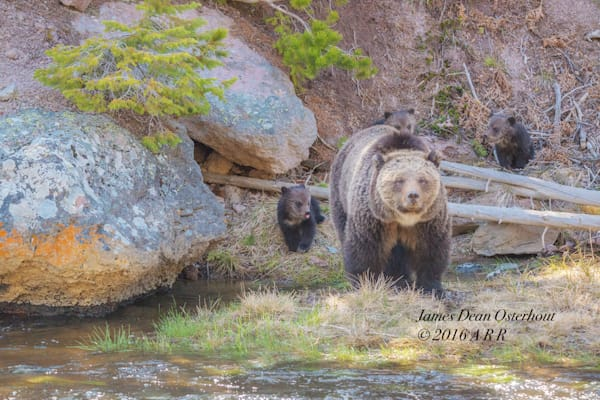 yellowstone national park, Grizzley  bear cubs, grizzley bears, gibbon river, gibbon falls
