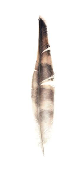 Osprey Flight Feather