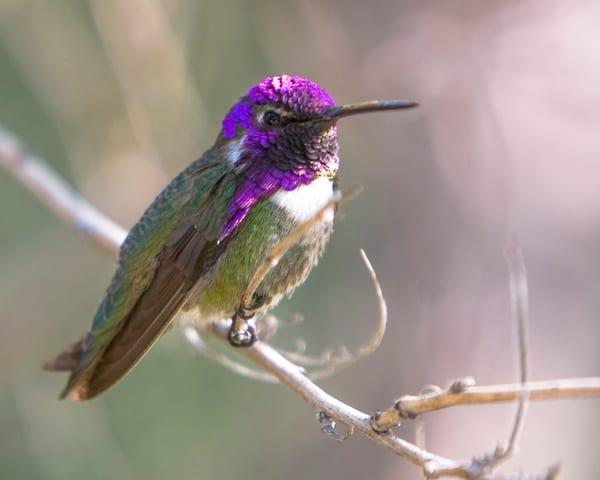 mg-1185-1 Hummingbird