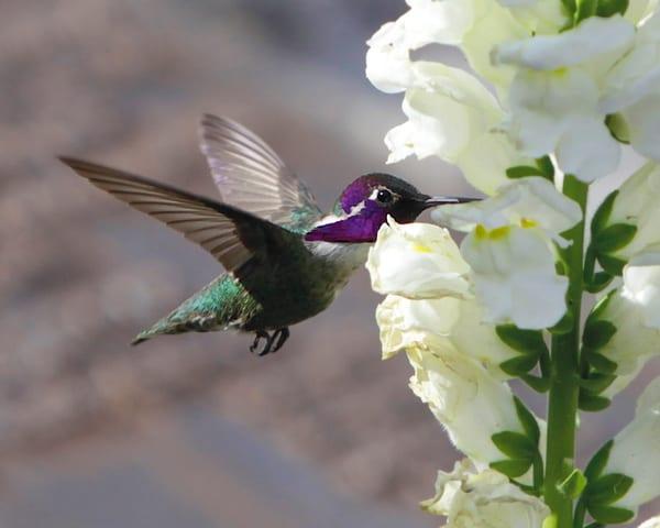 mg-0395 Hummingbird, california, flowers, nature