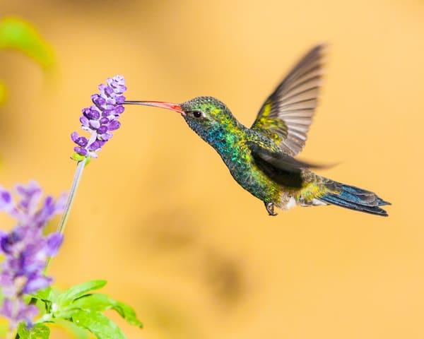 n8t9963 Hummingbird