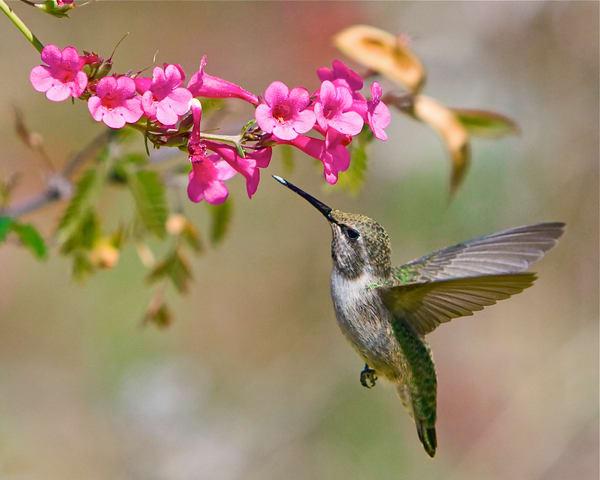 ln8t2544-1 Hummingbird