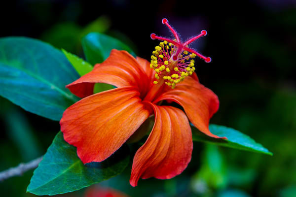 Orange Hibiscus 2 by William Weaver