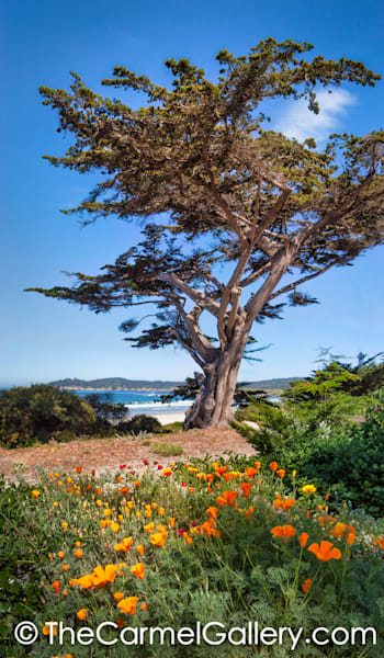 Monterey Cypress and Poppies