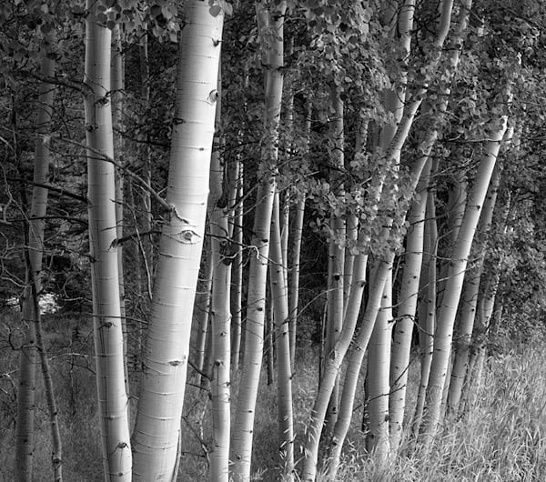 Aspen Grove, northern Colorado - bw