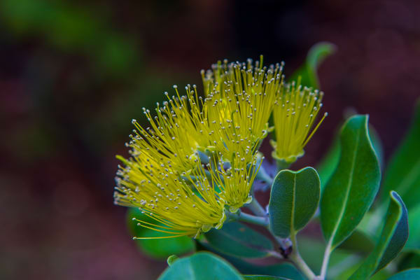 Hawaii Florals | Yellow Ohia 2 by William Weaver