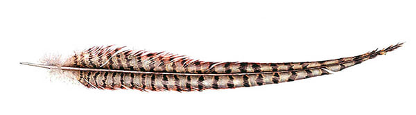 Ring Necked Pheasant Tail Feather