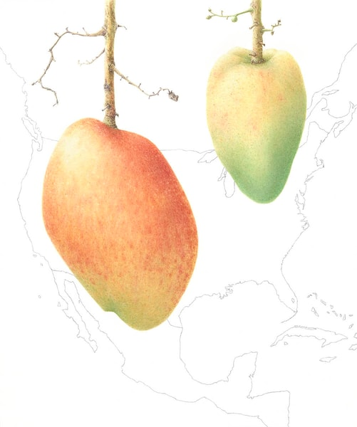 Mangifera indica 'Angie'