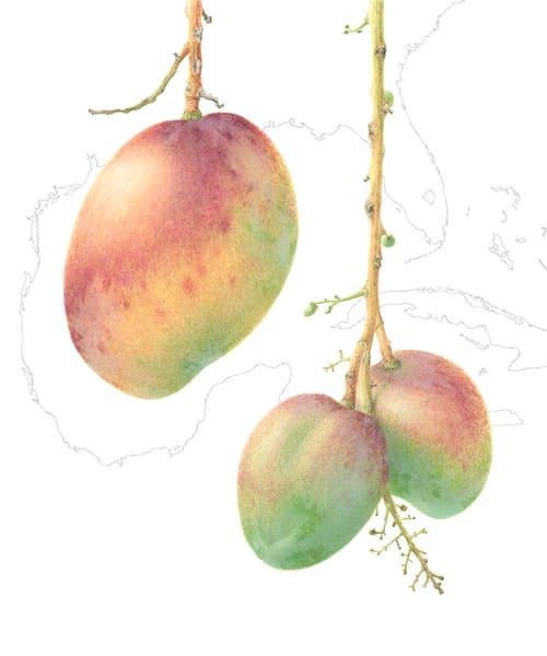Mangifera indica 'Haden'
