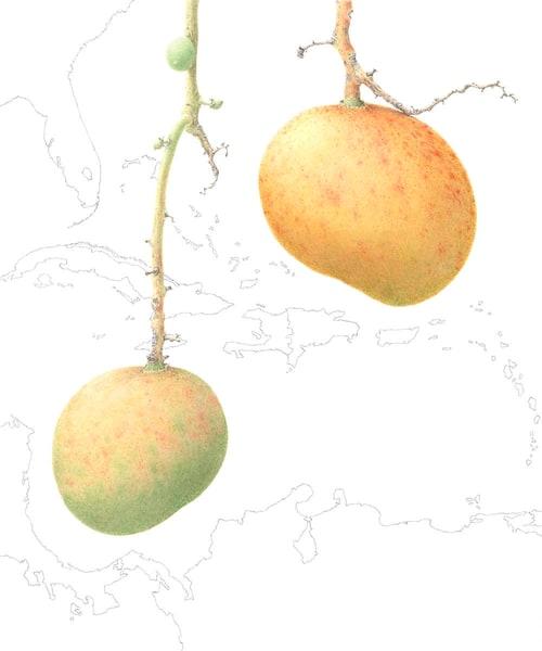 Mangifera indica 'Banilejo'