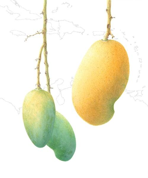 Mangifera indica 'Madame Francis'
