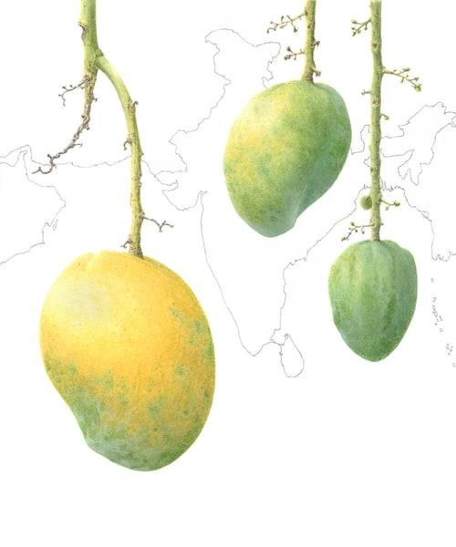 Mangifera indica 'Mulgoa'