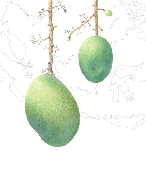 Mangifera lalijiwa Kosterm