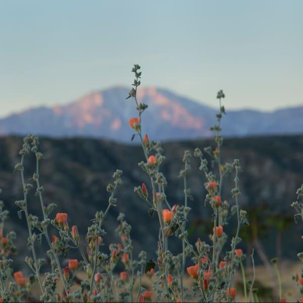 San Jacinto Sunrise desert Wildflowers
