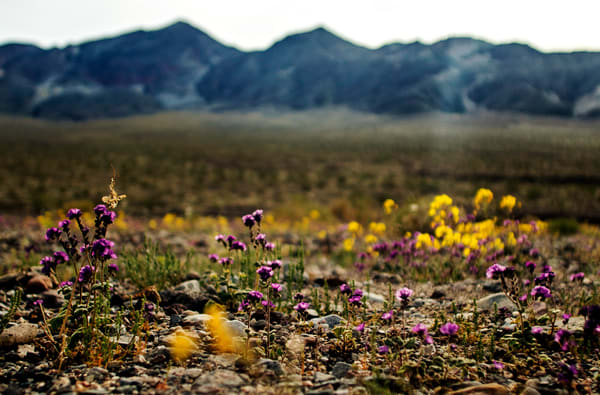 Desert Wild Flower Death Valley Super Bloom Purple Yellow Desert Wild Flowers Dramatic photographs as Fine Art.