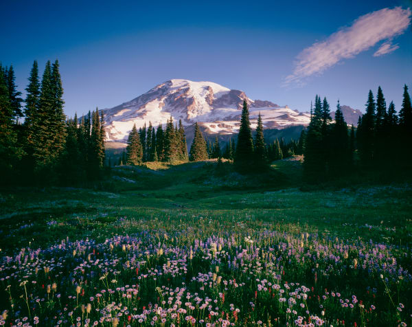 Fine art print of a wildflowers and Mt. Rainier