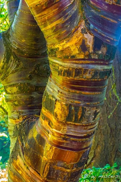 Birch-bark Cherry