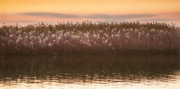 Autumn's Bouquet is an romantic photo of the tidal marsh grasses at dusk.