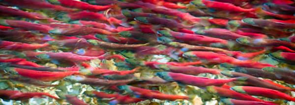 Sea Of Kokanee Photography Art by iainreid.artstorefronts.com