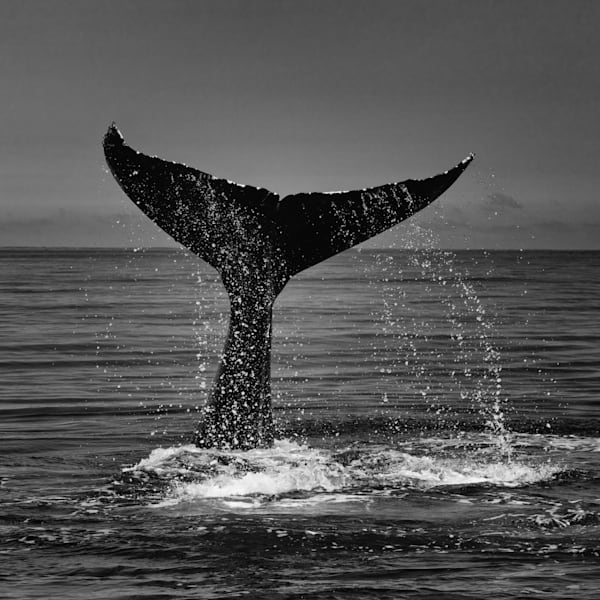 B&W Whale's Tail
