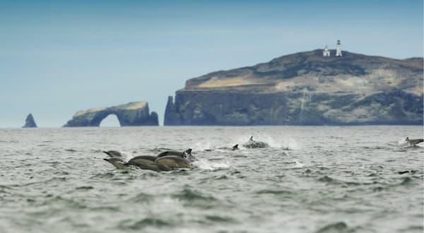 """""""Dolphins at Anacapa"""""""