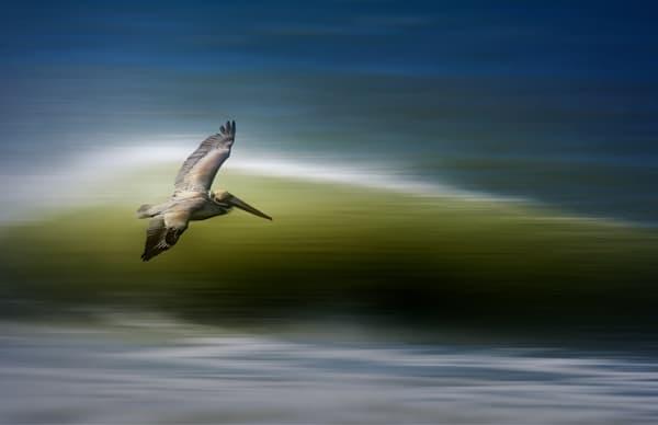 Panning Pelican