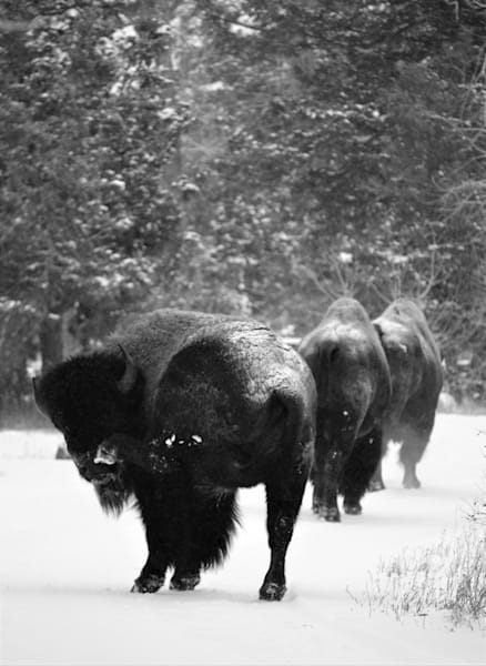 Black and White Photograph of bison on a snowy road for sale as Fine Art