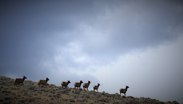 Photograph of cow elk and clouds for sale as Fine Art