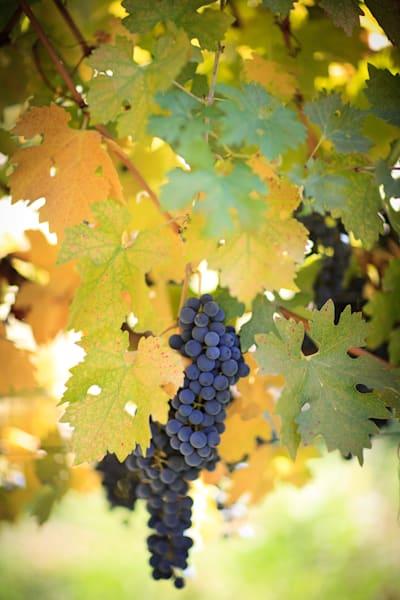 """""""Wine on the Vine"""""""