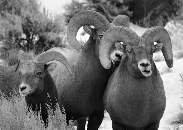 Black and White Photograph of Bighorn Rams for sale as Fine Art