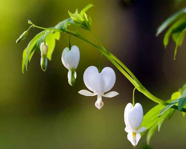Flower Wall Art: Bleeding Heart White 2