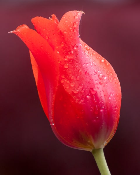 Flower Wall Art: A Red Tulip's Kiss