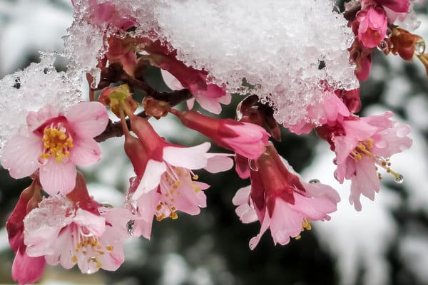 Flower Wall Art: Okame Cherry in Snow