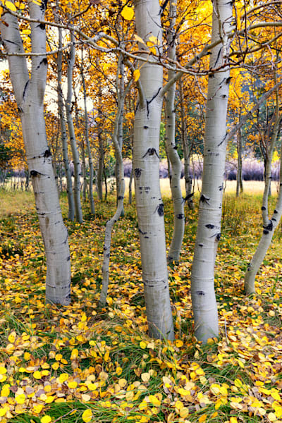 Yosemite East (151336LNND8) Aspen Trees Fine Art Photograph for Sale as Print