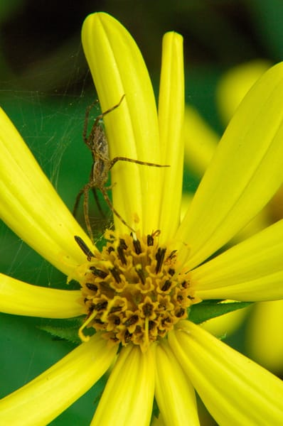 Coneflower (Rudbeckia laciniata var. humilis) & Nursery Web Spider (Pisaurina mira)
