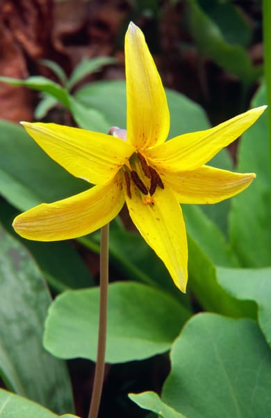 Yellow trout-lily (Erythronium americanum)