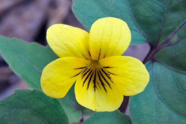 Halberd-Leaved Violet (Viola hasata)