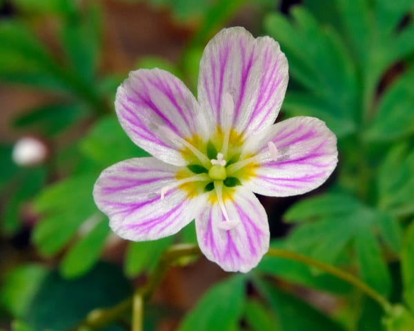 Spring Beauty (Claytonia virginica)