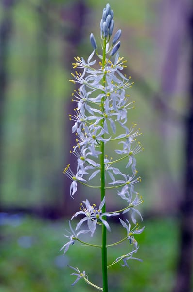 Wild Hyacinth (Camassia scilloides)