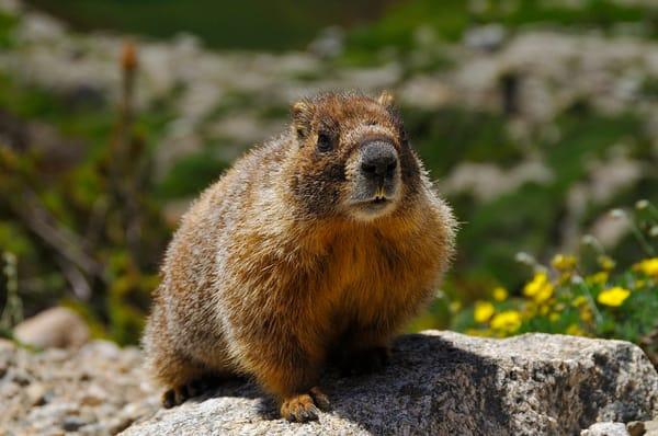 Yellow Bellied Marmot (Marmota Flaviventris) Photography Art | Nicholas Jensen Photography