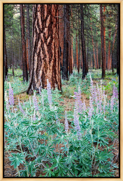 Metolius Lupine II (161483LNND8) Photograph for Sale as Framed Metal Print
