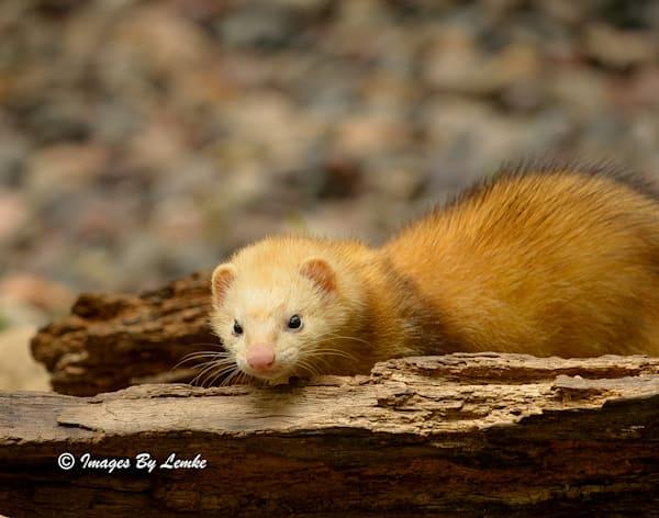 Ferret Closeup