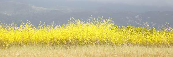 """Mustard Flower"""